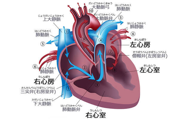 心臓の働きと機能について|良好...
