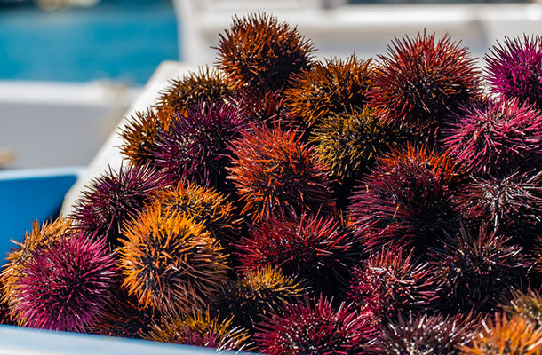 日本の海に生息する食用ウニ